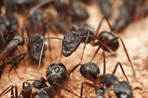 residential pest control - ants